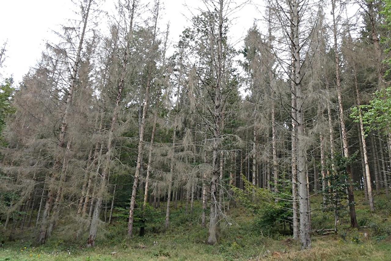 Abgestorberner Altersklassenwald in der Vulkaneifel.